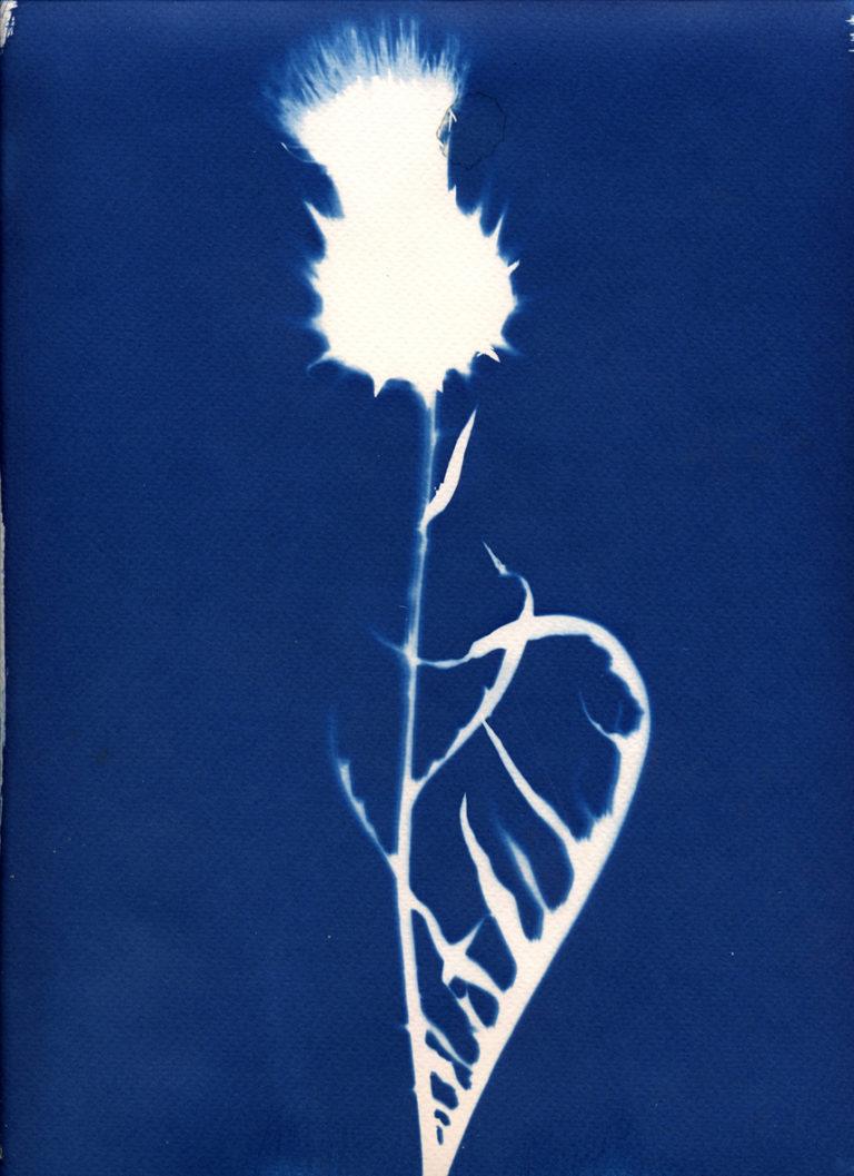 végétaux en Cyanotype